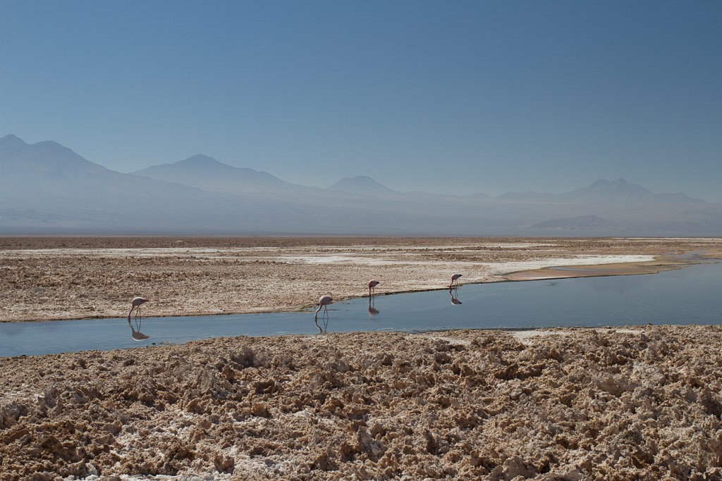Flamingoes, Salar de Atacama, Atacama desert, Chile