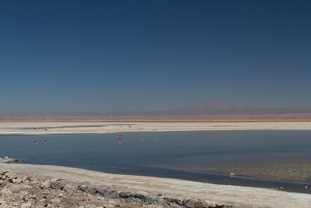 Flamingoes landing, Salar de Atacama, Atacama desert, Chile