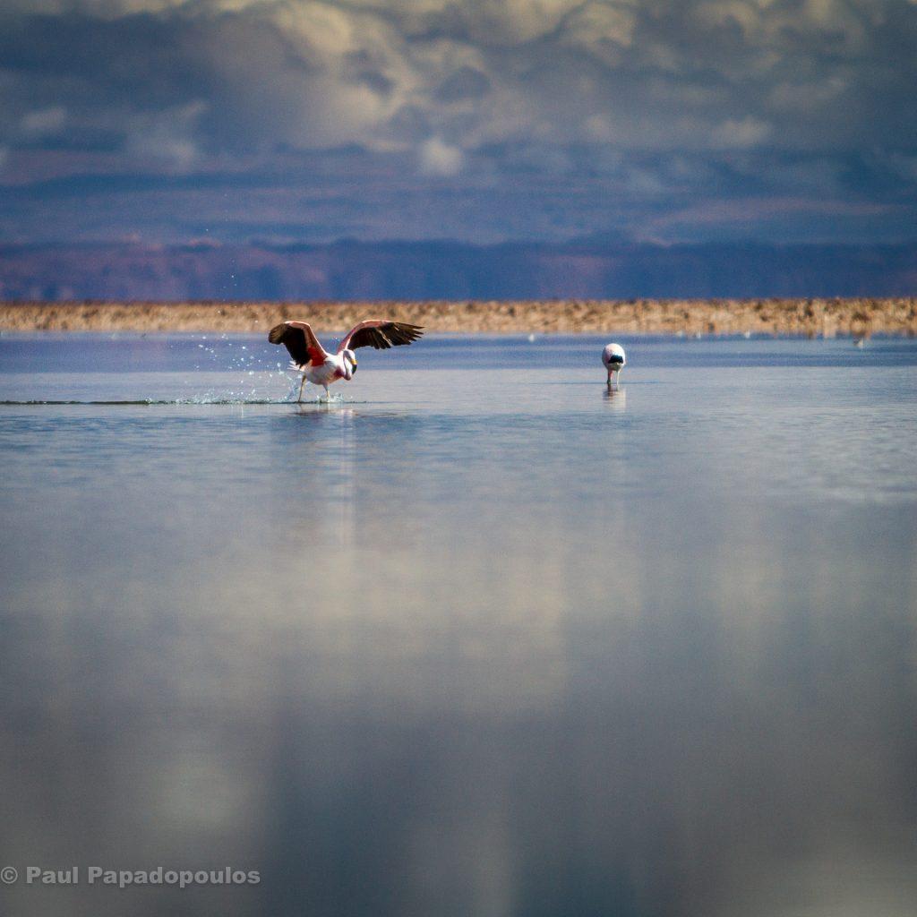 Cleared to land - Lagunas Chaxa, San Pedro de Atacama, Chile