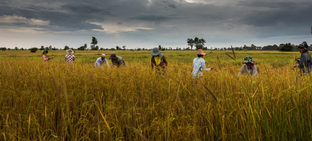 Harvesting rice in Cambodia, Rice fields, Cambodia