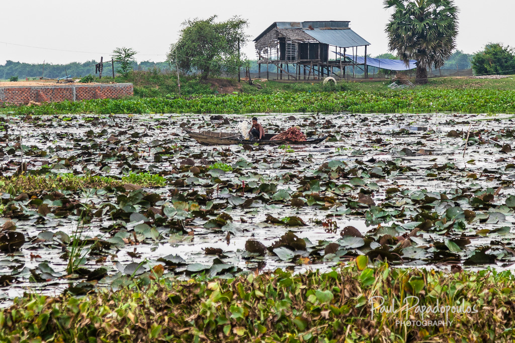 Picking lotus flowers - Siem Reap, Cambodia